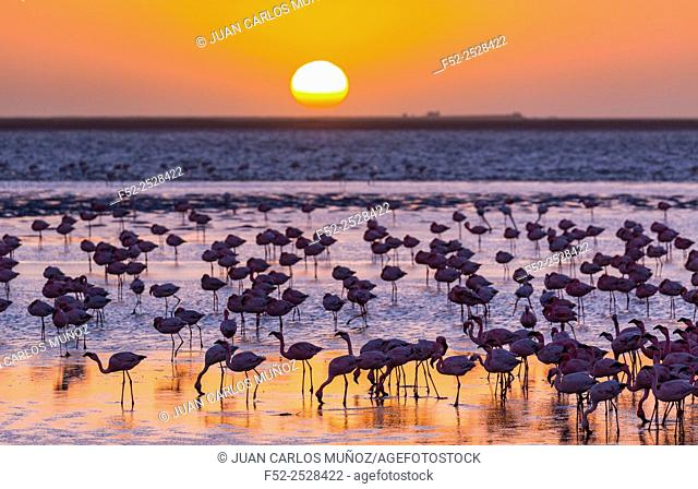 Namibia, Walvis Bay, Salinas, Large group of flamingos (Phoenicopterus roseus) in lake at sunset