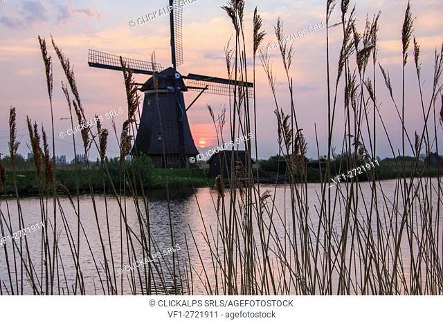 Corn ears frame the windmill reflected in the canal at dawn Kinderdijk Rotterdam South Holland Netherlands Europe