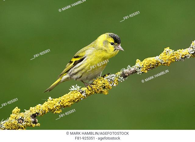Siskin Carduleis spinus adult male perched on lichen-covered branch  Scotland  April