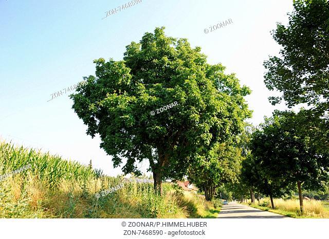 Juglans regia, Walnuss, Walnut, großer Straßennbaum