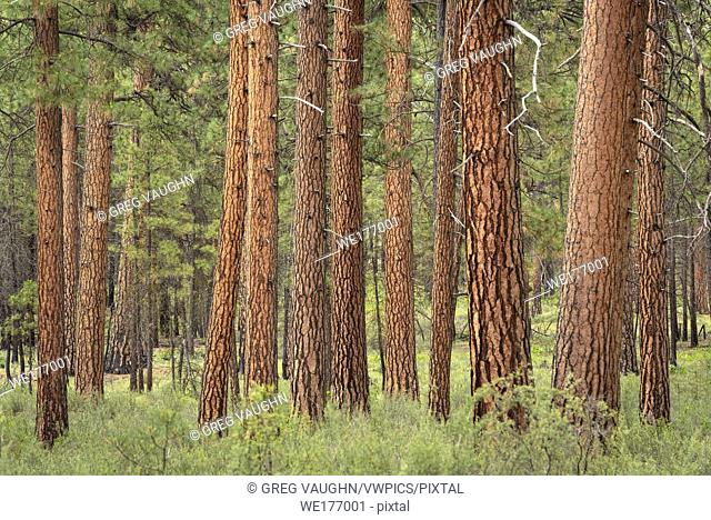 Ponderosa Pine trees in the Metolius River Natural Area, Deschutes National Forest, central Oregon