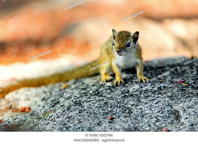 Tree Squirrel, Smith's bush squirrel, yellow-footed squirrel, Paraxerus cepapi, Tanzania, East Africa