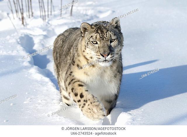 Snow leopard, Uncia uncia, Dalarna, Sweden