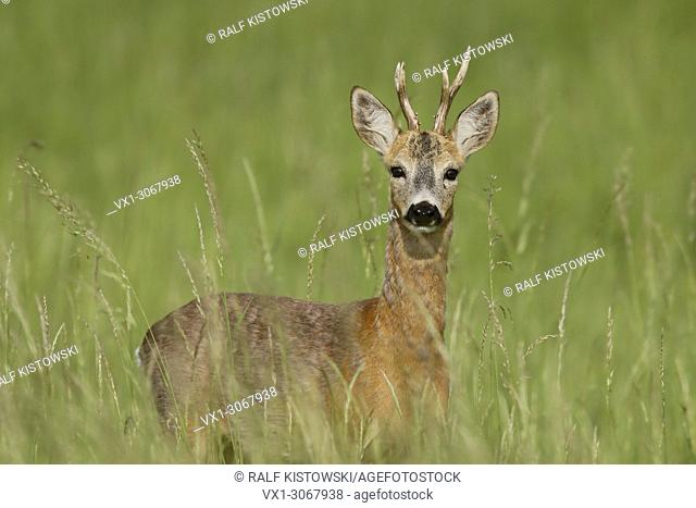 Roe Deer ( Capreolus capreolus ), adult buck, standing in high summer grass, watching attentively, wildlife, Europe