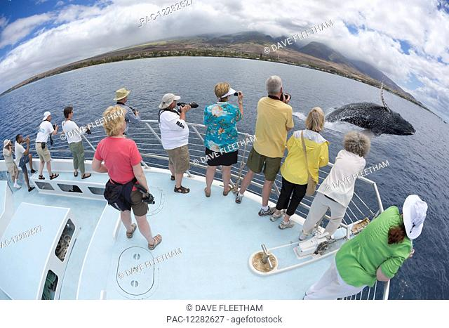 Photograhers on a whale watching boat out of Lahaina, Maui, get a close up look at a breaching humpback whale (Megaptera novaeangliae); Hawaii