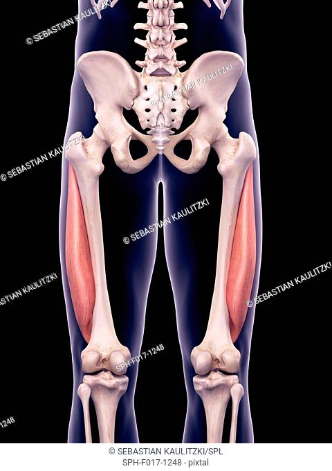 Illustration of the vastus lateralis muscles