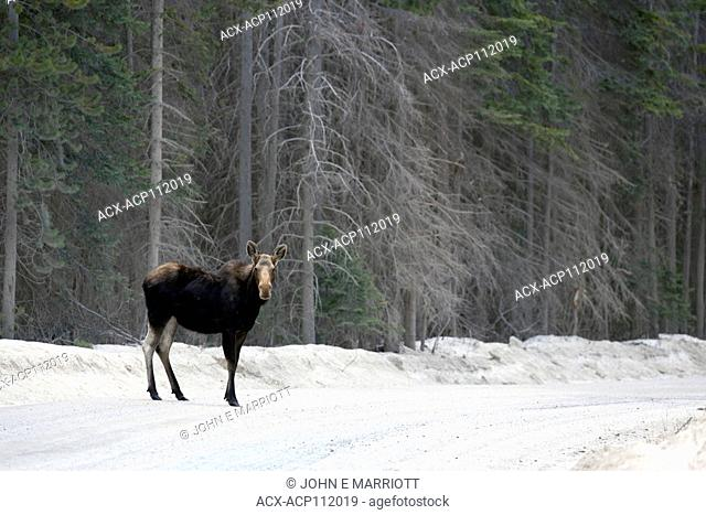 Cow moose on logging road in BC