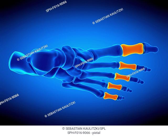 Illustration of the proximal phalanx bones
