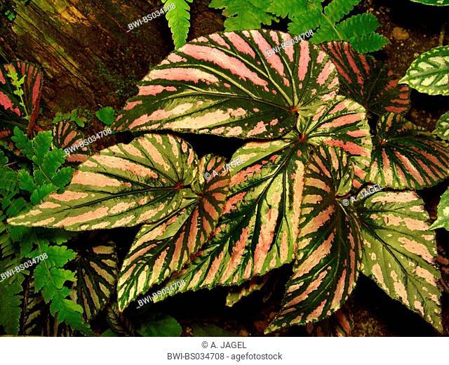 Exotic Begonia (Begonia exotica), leaves