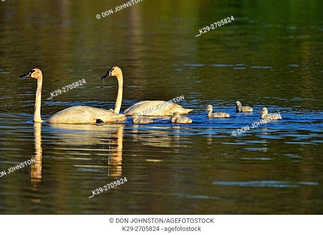 Trumpeter swan (Cygnus buccinator) Adults feeding in pond with young, Seney NWR, Seney, Michigan, USA