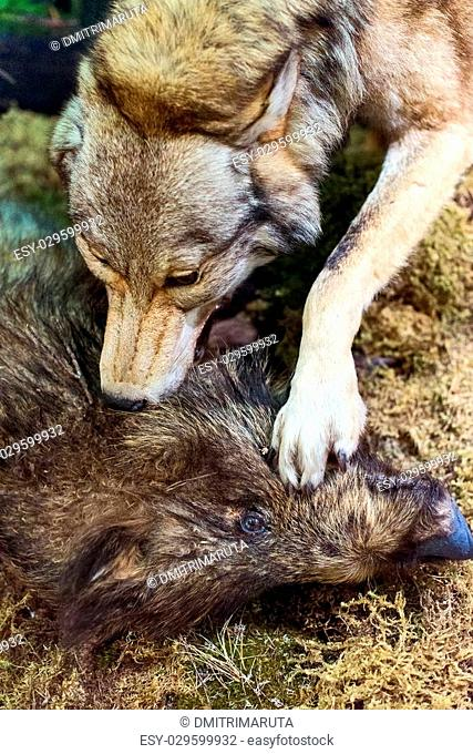 Dog attack wild boar Stock Photos and Images | age fotostock