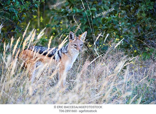 Back-backed jackal (Canis mesomelas) in grass. Moremi National Park, Okavango delta, Botswana, Southern Africa