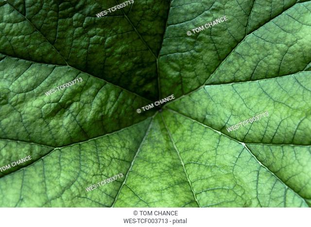 Germany, Munich, botanical garden, umbrella plant, Saxifragaceae, Darmera peltata