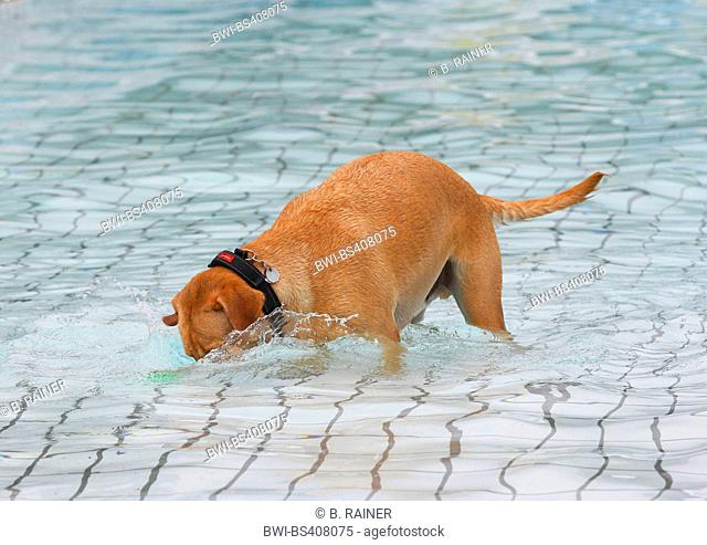 Labrador Retriever (Canis lupus f. familiaris), male dog searching a toy in the swimming pool , Germany