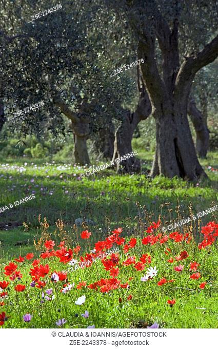 Poppy anemones Anemone coronaria in olive grove - Pelion Peninsula, Thessaly, Greece