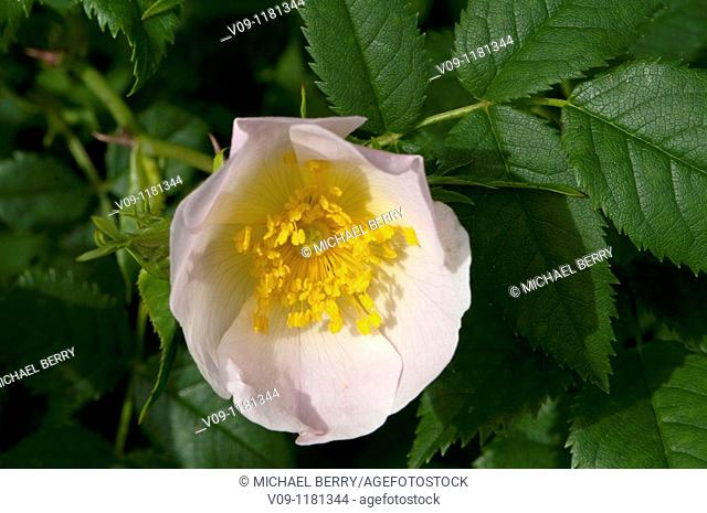 Dogrose (Rosa canina), Columbia River Gorge, USA