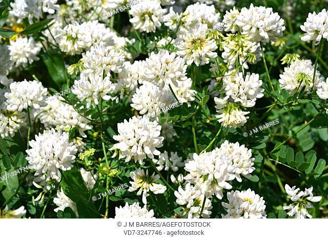 White crownvetch (Coronilla globosa or Securigera globosa) is a perennial shrub native to Crete. Flowering plant