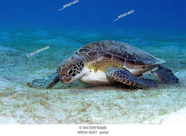 Green Sea Turtle, Chelonia mydas, Caribbean Sea, Netherland Antilles, Aruba