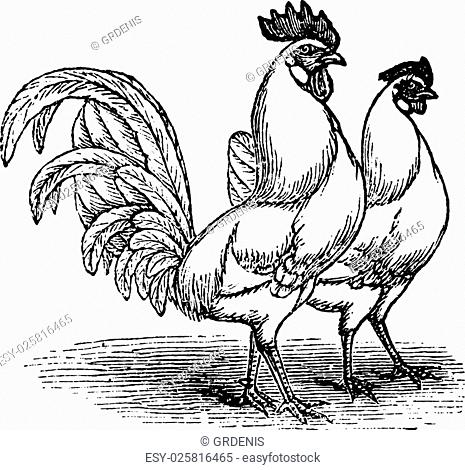 Male and female of White Leghorns (chicken), vintage engraving. Old engraved illustration of Male and female of White Leghorns chicken