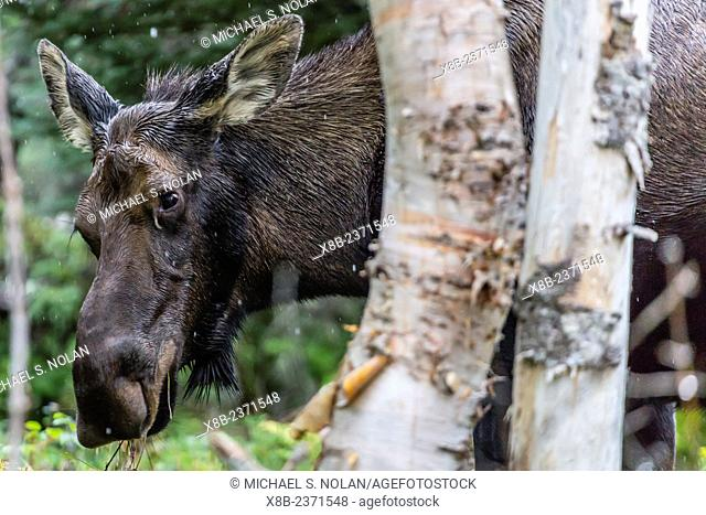 Adult cow moose, Alces alces, grazing in Gros Morne National Park, Newfoundland, Canada