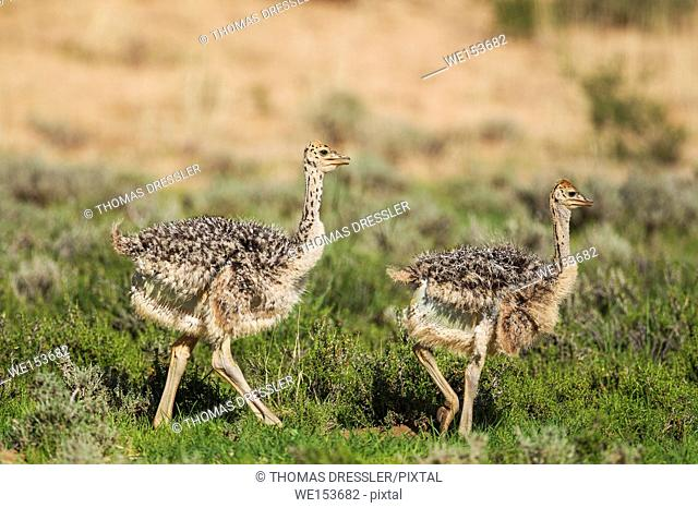 Ostrich (Struthio camelus). Two chicks. During the rainy season in green surroundings. Kalahari Desert, Kgalagadi Transfrontier Park, South Africa