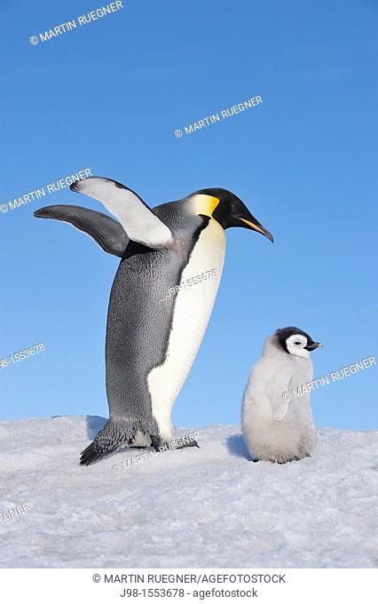 Emperor Penguin Aptenodytes forsteri adult spreading wings and chick  Snow Hill Island, Antarctic Peninsula, Antarctica