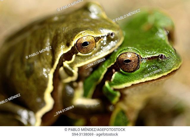 Amplexus of iberian treefrog (Hyla molleri) in Valdemanco, Madrid, Spain