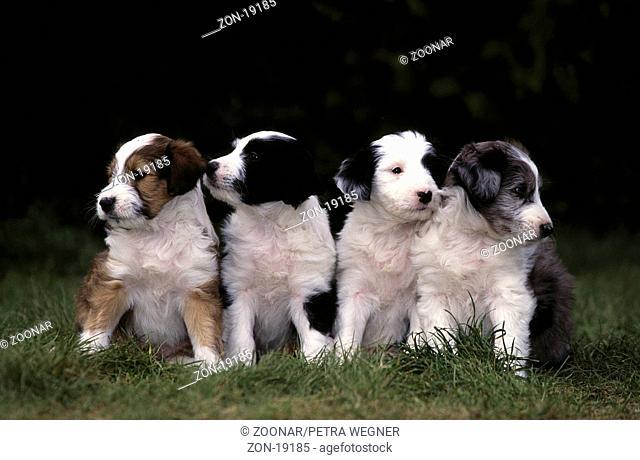 Mischlingshunde, Welpen, 5 Wochen alt  /  Mixed Breed Dogs, puppies, 5 weeks old  /  [Tiere, animals, Saeugetiere, mammals, Haushund, domestic dog, Haustier