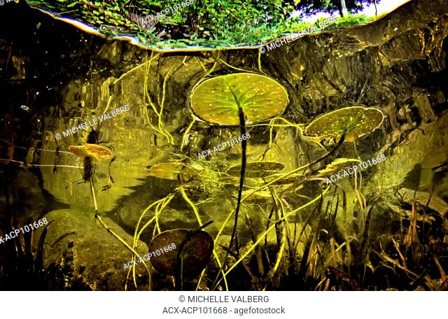 underwater view of lilly pads, Nymphaeaceae, lake, lake water, sharbot lake, ontario, canada, split, tress, green