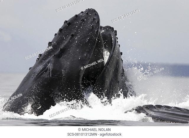 Humpback Whales Megaptera novaeangliae co-operatively bubble-net feeding in Stephen's Passage, Southeast Alaska, USA Pacific Ocean