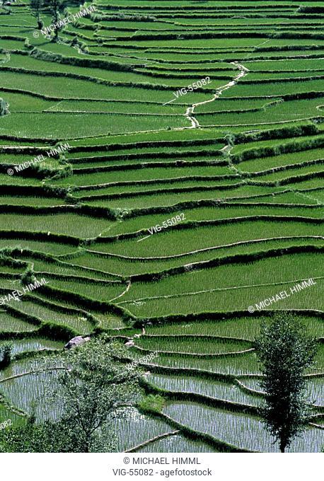 Paddy / rice fields in the north of Pakistan. - KARAKORUM, PAKISTAN, 01/07/1998