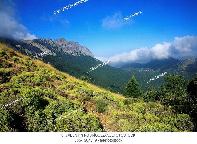 Landscape in the Sierra del Pinar, Spanish Fir (Abies pinsapo) forest, Sierra de Grazalema Natural Park, Cadiz province, Andalusia, Spain