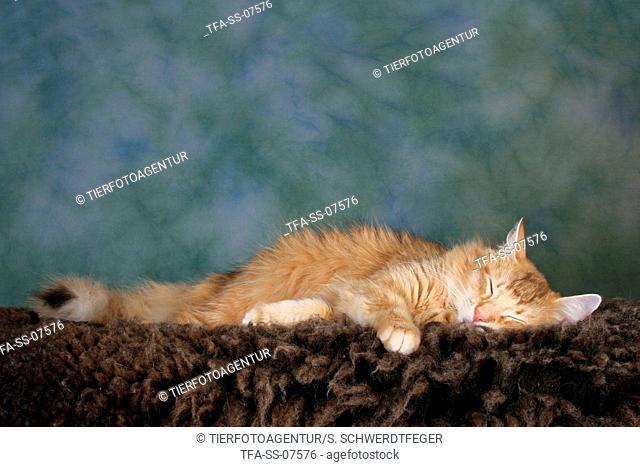 sleeping Norwegian Forest Cat