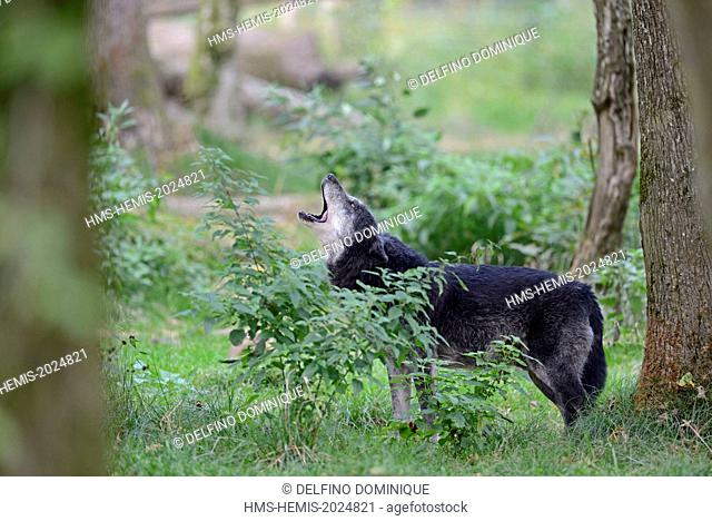 France, Moselle, Animal Park Saint Croix, Rhodes, Black Wolf (Canis lupus), howling