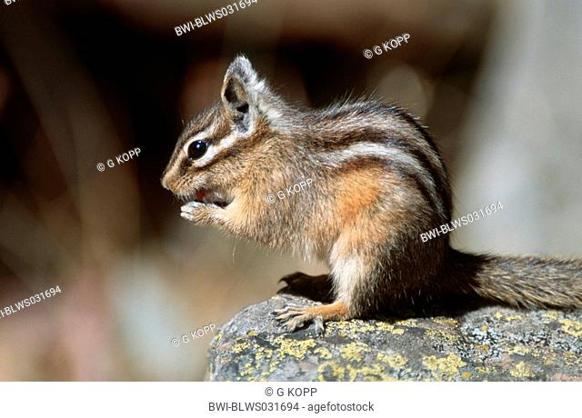 West american chipmunk Stock Photos and Images | age fotostock