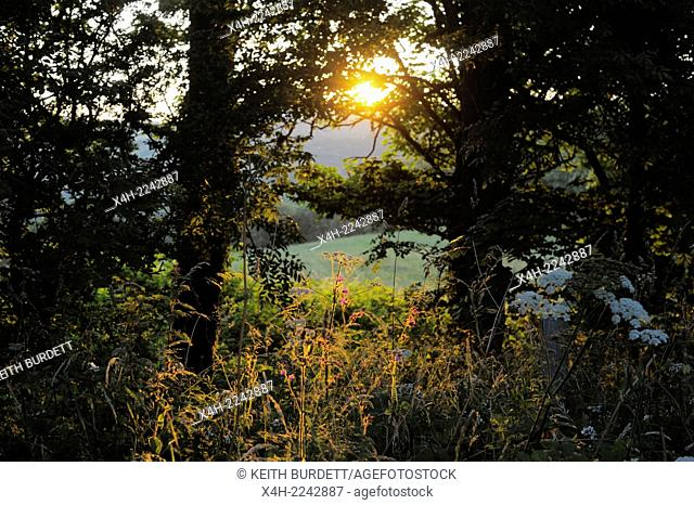 Evening Summer sun shining through wild grasses, wildflowers and trees, Wales, UK