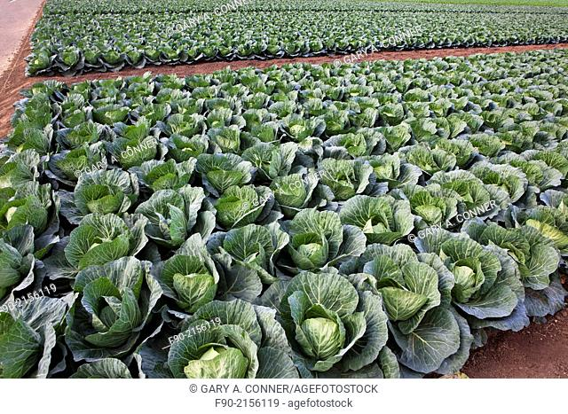 Field of cabbage in Miura Hanto Peninsula in Japan