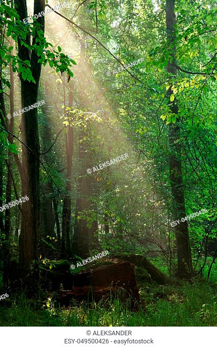 Last light of day entering old forest just rain after, Bialowieza Forest, Poland, Europe
