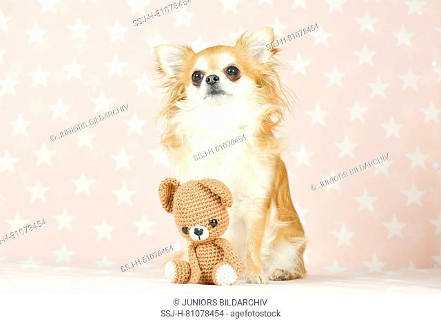 Chihuahua. Adult female (long-haired, red-and-white) sitting, with knitted teddy bear. Studio picture. Germany