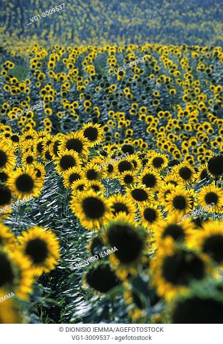 Sunflower field in the Marche, Italy, Europe
