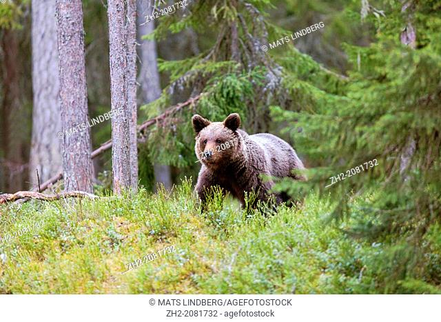 Brown bear in forest in Kuhmo, Finland, Scandinavia