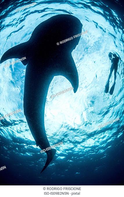 View from below of snorkeller with great shark (rhincodon typus), Cozumel island, Mexico
