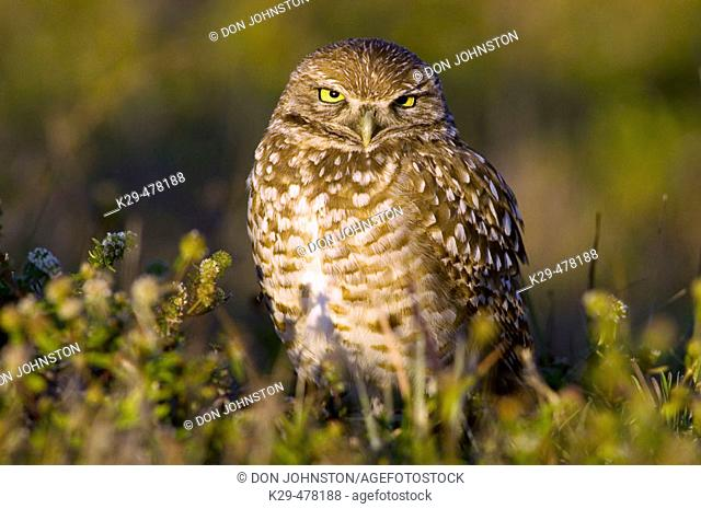Burrowing owl (Athene cunicularia) standing alert outside burrow in suburban habitat. Cape Coral, FL, USA