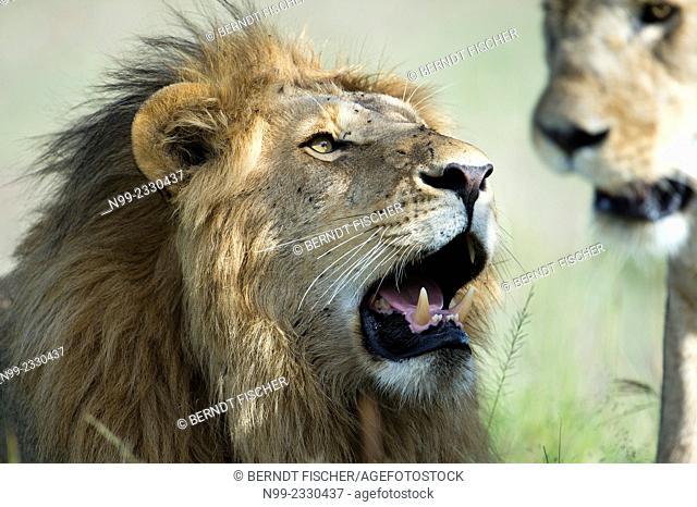 Lion (Panthera leo), couple, head of a male, Masai Mara, Kenya