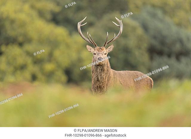 Red Deer (Cervus elaphus) mature stag, standing, during rutting season, Bradgate Park, Leicestershire, England, October
