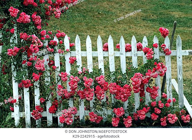 White picket fence with roses, New Harbour, Maine, USA