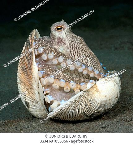 Coconut octopus, veined octopus (Amphioctopus marginatus) having shelter in the bivalve shells hide-out