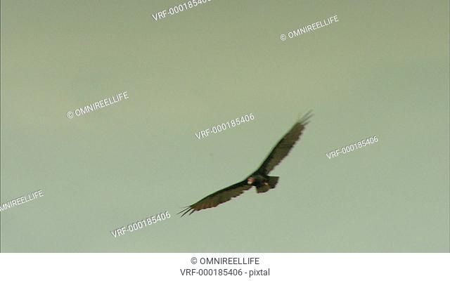 Turkey Vulture gliding with hills behind