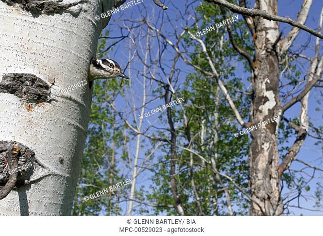 Hairy Woodpecker (Picoides villosus) emerging from nest hole, British Columbia, Canada