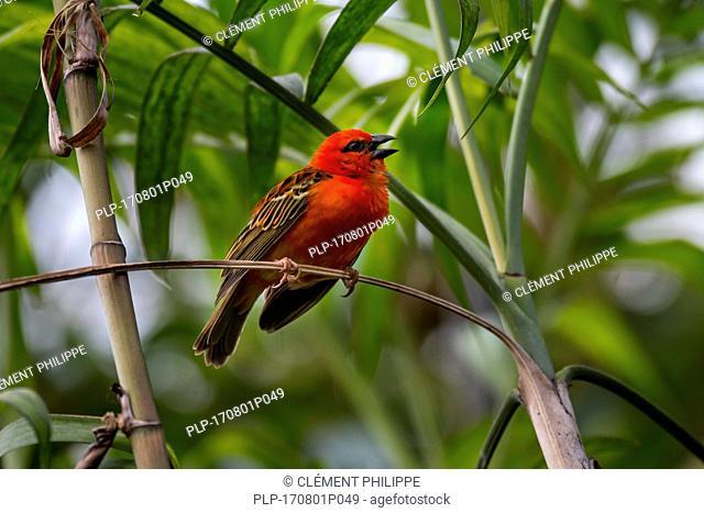 Red fody / Madagascar fody / red cardinal fody / common fody / Madagascar weaver (Foudia madagascariensis) male calling, native to Madagascar